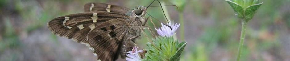 Бабочка урбанус изменчивый (лат. Urbanus teleus) (англ. Long-tailed Skipper)