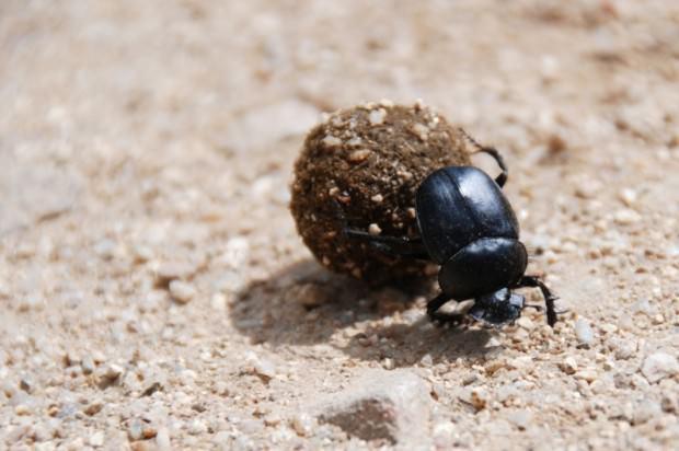 Священный скарабей (лат. Scarabaeus sacer) (англ. Dung Beetle)