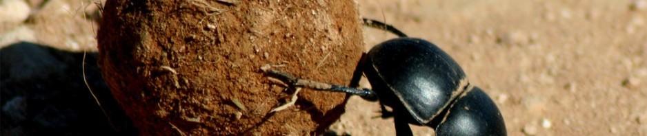 Священный скарабей (лат. Scarabaeus sacer)