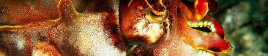Расписная каракатица (лат. Metasepia pfefferi)