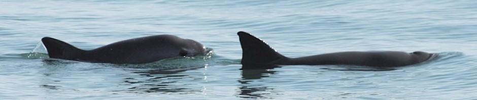 Калифорнийская морская свинья или вакита (лат. Phocoena sinus)