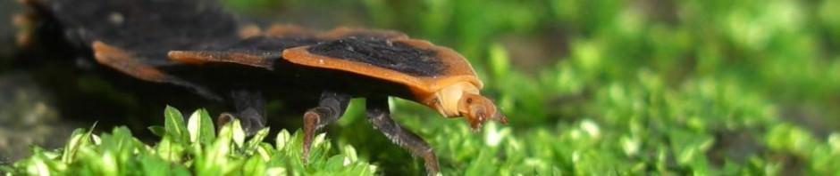 Жуки-трилобиты (лат. Duliticola)