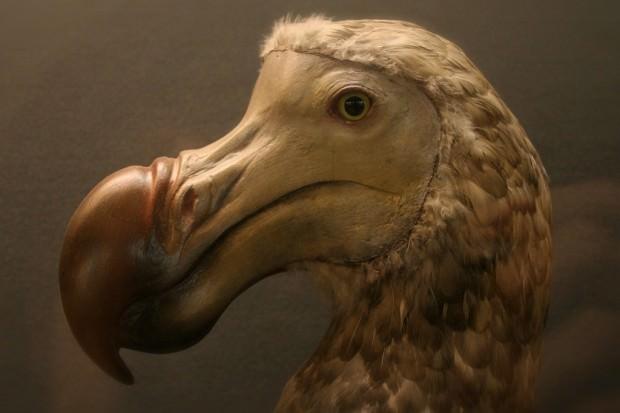 Дронты (лат. Raphidae) (англ. Dodo)