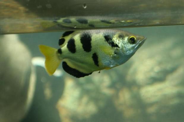 Брызгун (лат. Toxotes jaculator) (англ. Archer fish)