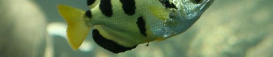 Брызгун (лат. Toxotes jaculator)