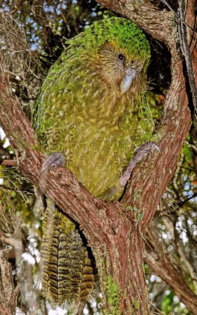 Какапо или совиный попугай (лат. Strigops habroptilus) (англ. Kakapo)