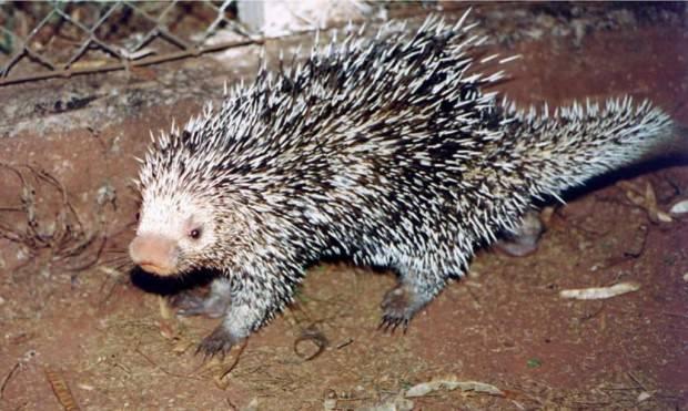 Древесный или цепкохвостый дикобраз (лат. Coendou prehensillis) (англ. Prehensile-tailed porcupine)