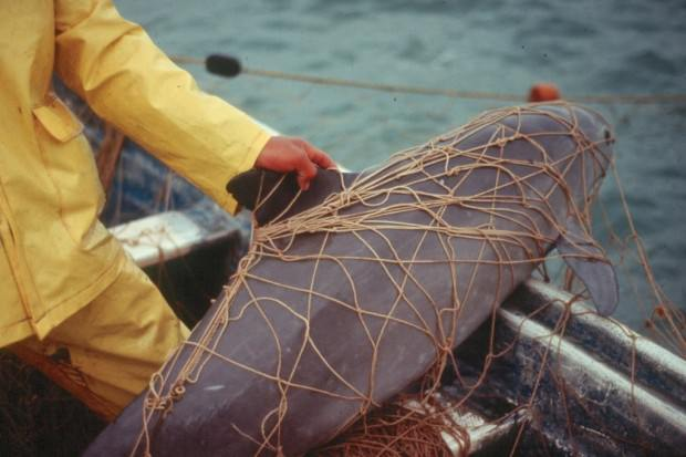 Калифорнийская морская свинья или вакита (лат. Phocoena sinus) (англ. Gulf of California Harbor Porpoise или Vaquita)