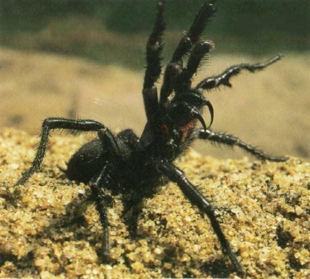 Сиднейский лейкопаутинный или воронковый паук (лат. Atrax robustus) (англ. Sydney funnel-web spider)
