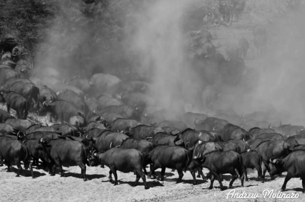 Африканский или черный буйвол (лат. Syncerus caffer) (англ. African buffalo, Cape buffalo)