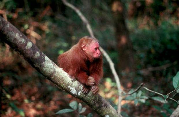 Лысый уакари (лат. Cacajao calvus) (англ. Bald-headed uakari)