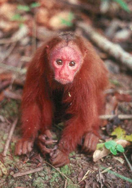 Лысый уакари (лат. Cacajao calvus) (англ. Bald-headed uakari)