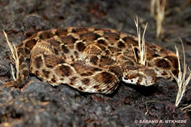 Песчаная эфа (лат. Echis carinatus) (англ. Saw-scaled Viper)