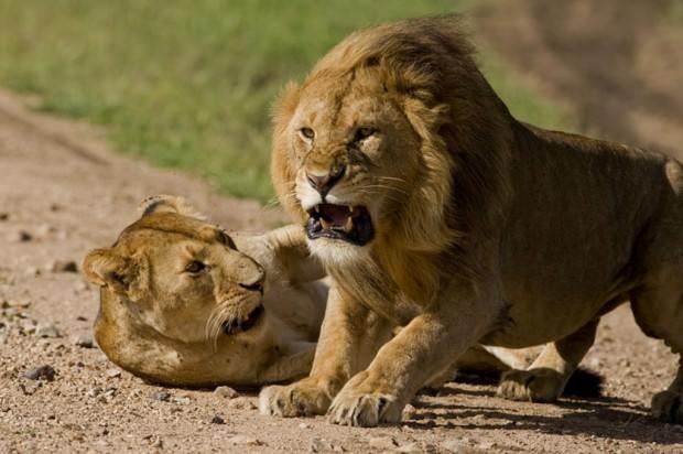 Самые опасные животные Африки. Часть 4.