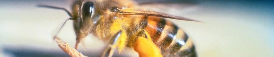 Африканизированные пчелы или пчелы-убийцы (лат. Apis mellifera scutellata)