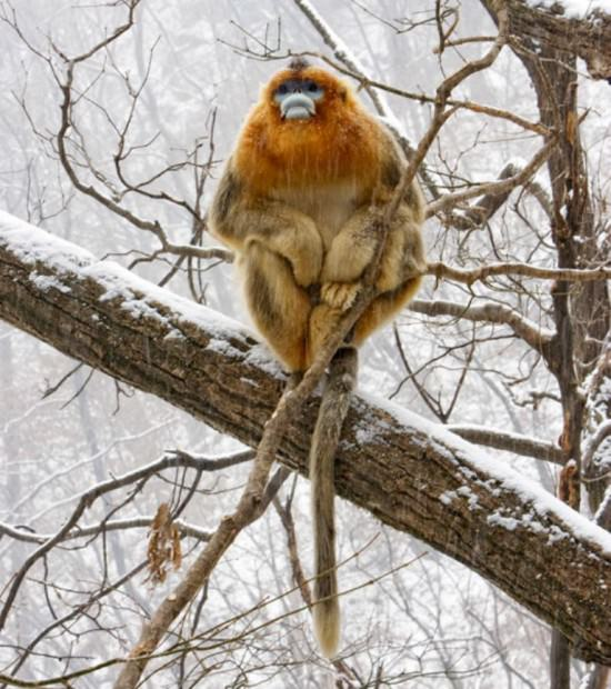 Китайская курносая обезьяна (лат. Rhinopithecus roxellana) (англ. Golden Snub-nosed Monkey)