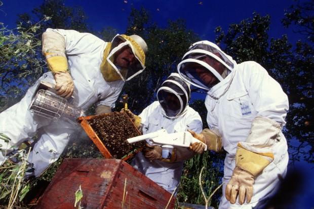 Африканизированные пчелы или пчелы-убийцы (лат. Apis mellifera scutellata) (англ. Africanized Killer Bee)