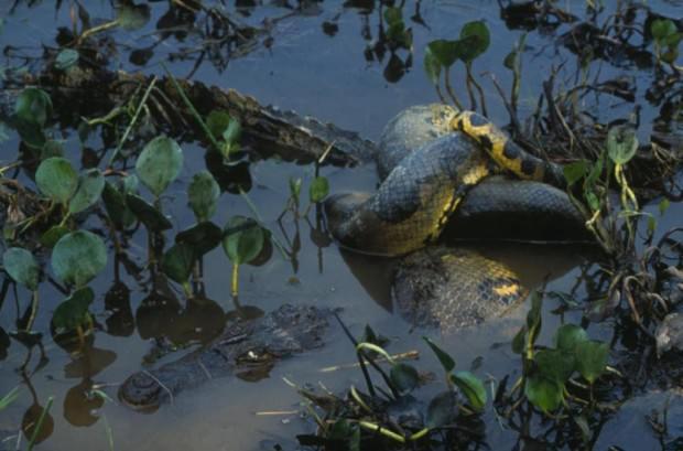 Самые опасные животные Амазонии. Часть 4.