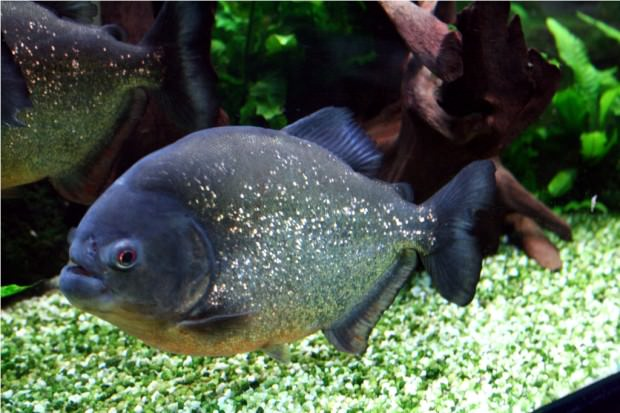 Обыкновенная пиранья (лат. Pygocentrus nattereri) (англ. Piranha)