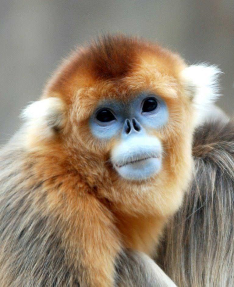 фото курносые обезьяны