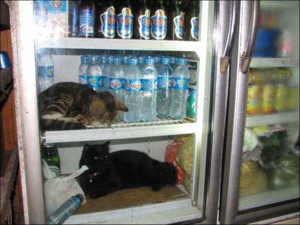 Смешные картинки животных - Выпуск № 50 (Коты в холодильниках)