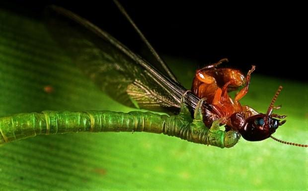 Плотоядные гусеницы