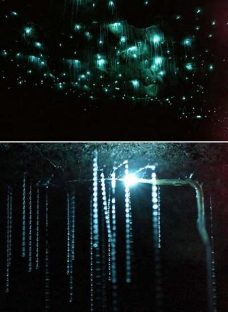 Грибные комарики Arachnocampa luminosa (лат. Arachnocampa luminosa) (англ. Glow-worm Fly)