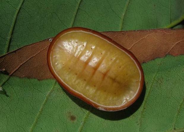 Гусеница австралийской бабочки Liphyra brassolis (лат. Liphyra brassolis) (англ. Moth Butterfly)