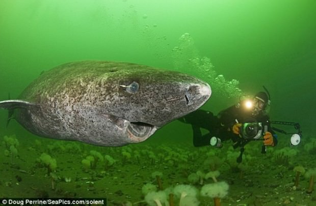 Гренландская полярная акула или атлантическая полярная акула (лат. Somniosus microcephalus) (англ. Greenland Shark)