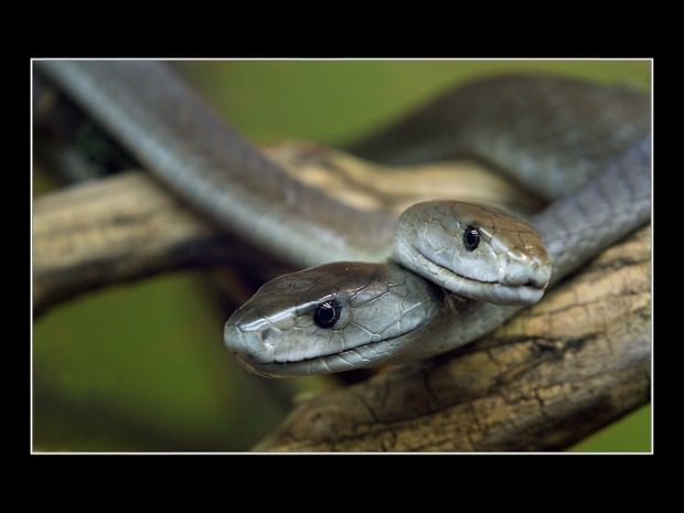 Черная мамба (лат. Dendroaspis polylepis) (англ. Black mamba)