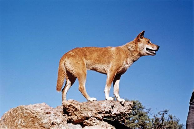 Дикая собака динго (лат. Canis lupus dingo)(англ. Dingo)