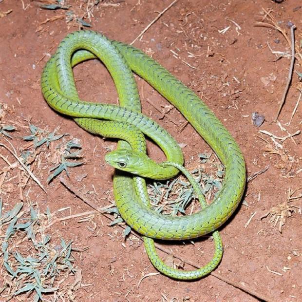 Африканский бумсланг (лат. Dispholidus typus) (англ. Boomslang)