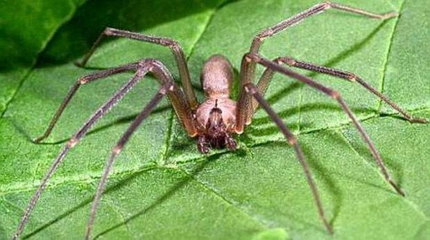 Коричневый паук-отшельник (лат. Loxosceles reclusa) (англ. Fiddleback Spider, Violin Spider)