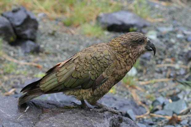 Кеа (лат. Nestor notabilis) (англ. Kea)