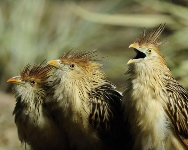 Гоацин (лат. Opisthocomus hoazin) (англ. Hoatzin)