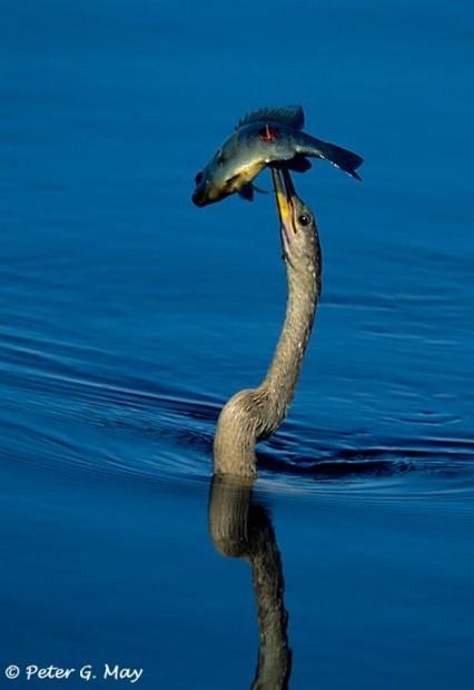 Анхинга или змеешейка (лат. Anhinga anhinga) (англ. Snake bird)