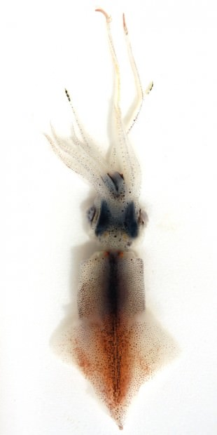 Сверкающий кальмар Watasenia scintillans (лат. Watasenia scintillans) (англ. Firefly Squid)