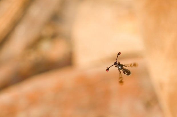 Стебельчатоглазые мухи (лат. Diopsidae) (англ. Stalk-eyed flies)