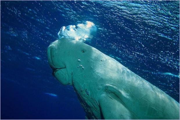 Дюгонь (лат. Dugong dugon) (англ. Dugong)