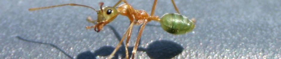 Муравьи-портные или муравьи-ткачи (лат. Oecophylla)
