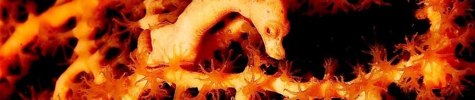 Микроконьки Hippocampus denise (лат. Hippocampus denise)