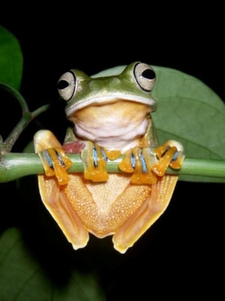 Яванская летающая лягушка (лат. Rhacophorus reinwardti) (англ. Reinwardt's Flying Frog)