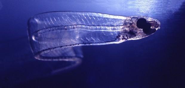 Обезьяний угорь или сименхел (лат. Simenchelys parasitica) (англ. Snubnosed eel)