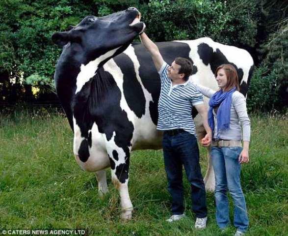 Самые большие в мире быки