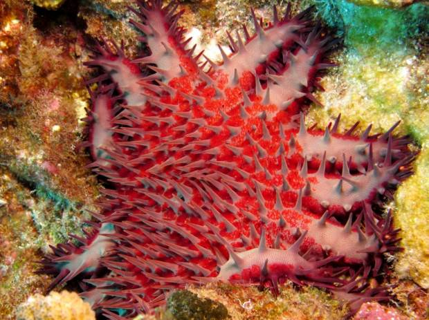 Терновый венец  или акантастер (лат. Acanthaster planci) (англ. Crown of Thorns Seastar)