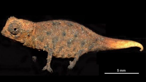 Микрохамелеон Brookesia micra (лат. Brookesia micra