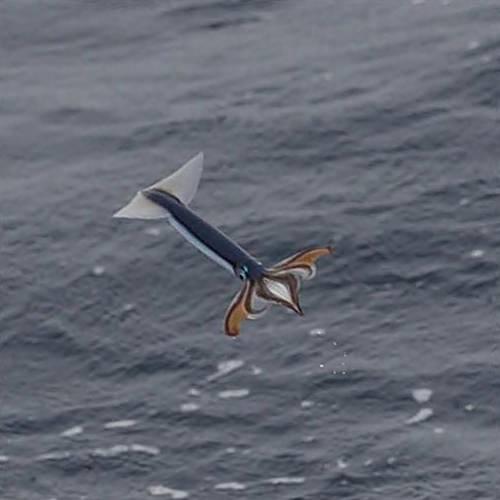 Летучие кальмары